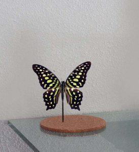 Gedroogde vlinder in glazenstolp