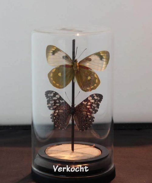 glasvlinderart