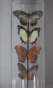 vier gedroogde vlinders