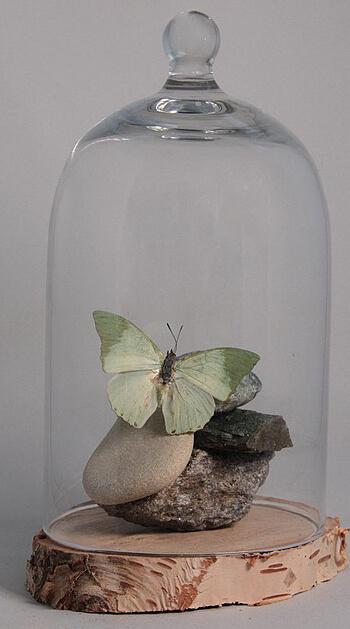 gedroogde vlinder in stolp