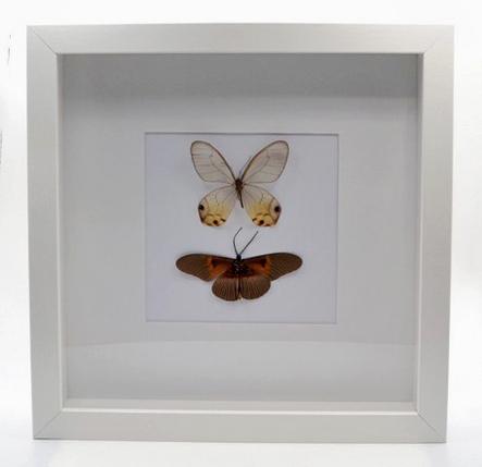 Twee vlinders in lijst