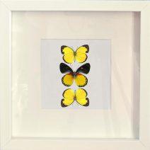 Opgezette Vlinders in witte lijst