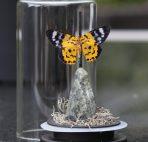 oersteen met vlinder