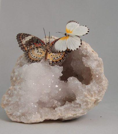 Vlinders-Glasvlinderart