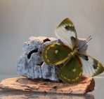 Delias Brutus vlinder op natuursteen