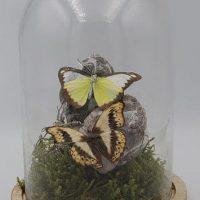 gedroogde vlinders