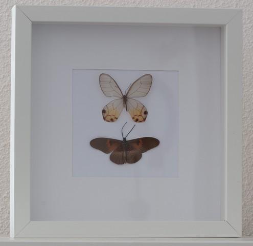 gedroogde vlinders in lijst