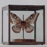 kubus met gedroogde vlinder