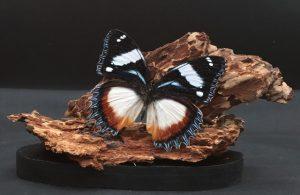 Boomschors met vlinder