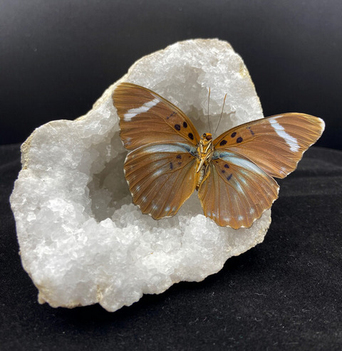 Gedroogde Euphaedra eberti